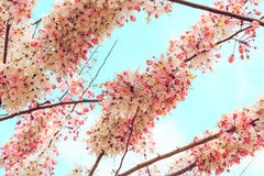 Sakura Color Chan in Thailand. Pink flower, Cassia Bakeriana, Sakura Color Chan in Thailand. Vintage color tone effect stock image