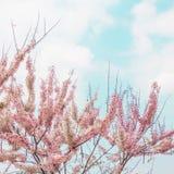 Sakura Color Chan in Thailand. Pink flower, Cassia Bakeriana, Sakura Color Chan in Thailand. Vintage color tone effect stock photos