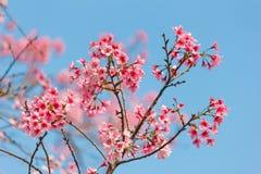 Sakura con cielo blu Immagini Stock