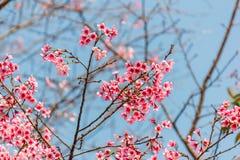 Sakura con cielo blu Fotografia Stock