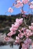 Sakura con el cielo azul Imágenes de archivo libres de regalías