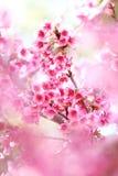 Sakura con priorità alta Fotografia Stock Libera da Diritti