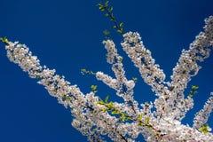 Sakura contra o céu Fotos de Stock Royalty Free