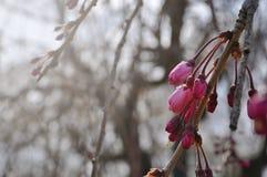 Sakura cor-de-rosa antes de florescer fotos de stock royalty free