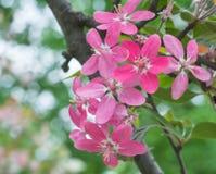 Sakura cor-de-rosa bonito floresce o close up da flor Fotos de Stock