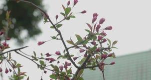 Sakura cor-de-rosa brota a brotamento durante a estação da flor de cerejeira em Japão video estoque