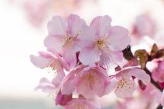 Sakura cor-de-rosa, Cherry Blossom, é a flor a mais bonita Fotografia de Stock Royalty Free