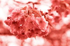 Sakura coral flower. Living coral colors. Color of the year 2019. stock photo