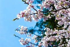 Sakura Czereśniowy okwitnięcie obraz stock