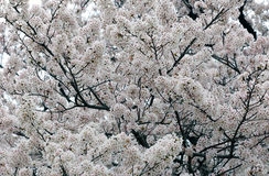 Sakura Czereśniowego okwitnięcia Biały tło Fotografia Royalty Free