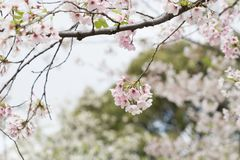 sakura czereśniowego okwitnięcia Japan drzewny gałęziasty kolorowy Zdjęcia Royalty Free
