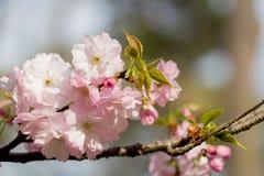 sakura czereśniowego okwitnięcia Japan drzewny gałęziasty kolorowy Fotografia Royalty Free