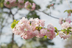 sakura czereśniowego okwitnięcia Japan drzewny gałęziasty kolorowy Obrazy Stock
