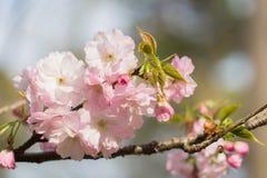 sakura czereśniowego okwitnięcia Japan drzewny gałęziasty kolorowy Obraz Royalty Free