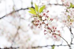 sakura czereśniowego okwitnięcia Japan drzewny gałęziasty kolorowy Obraz Stock