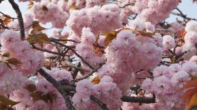 Sakura Czereśniowego okwitnięcia wiosna Obraz Royalty Free