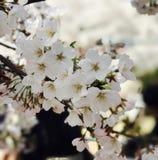 Sakura& x28; czereśniowy blossom& x29; w Pekin Chiny obrazy royalty free