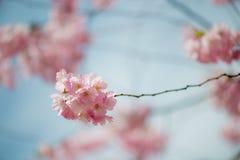 Sakura czereśniowy okwitnięcie Zdjęcia Stock
