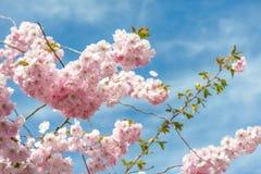 Sakura czereśniowy okwitnięcie Zdjęcia Royalty Free
