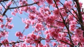 Sakura czereśniowy okwitnięcie na niebieskim niebie w wiosna czasie Fotografia Royalty Free