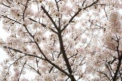 Sakura (Czereśniowy okwitnięcie) przy parkiem Ho, Nagahama kasztel Obrazy Stock
