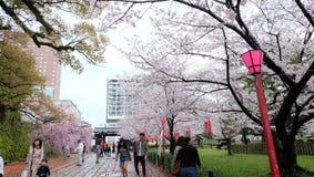Sakura, Czereśniowy okwitnięcie przy Wakayama kasztelem zdjęcia stock
