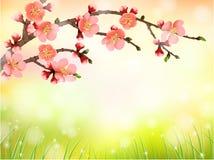 Sakura, czereśniowy okwitnięcie w ranku świetle ilustracji