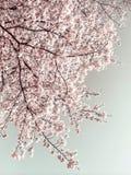 Sakura (Czereśniowy okwitnięcie) w wiośnie Zdjęcia Royalty Free