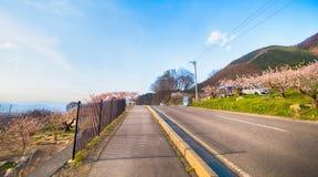 Sakura, Czereśniowy okwitnięcie w wiośnie wioska morela Fotografia Stock