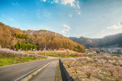 Sakura, Czereśniowy okwitnięcie w wiośnie wioska morela Obraz Stock