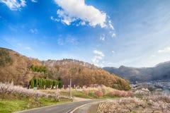 Sakura, Czereśniowy okwitnięcie w wiośnie wioska morela Obrazy Royalty Free