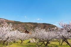 Sakura, Czereśniowy okwitnięcie w wiośnie wioska morela Zdjęcie Stock