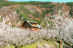 Sakura, Czereśniowy okwitnięcie w wiośnie wioska morela Zdjęcie Royalty Free