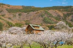 Sakura, Czereśniowy okwitnięcie w wiośnie wioska morela Fotografia Royalty Free