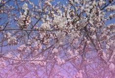 Sakura czereśniowych okwitnięć gałąź tło zdjęcie royalty free
