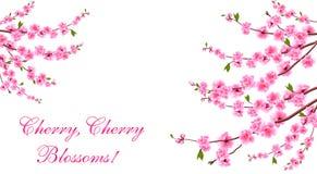 Sakura Czere?niowi okwitni?cia lokalizuj? na obich stronach inskrypcja pojedynczy bia?e t?o ilustracja royalty ilustracja