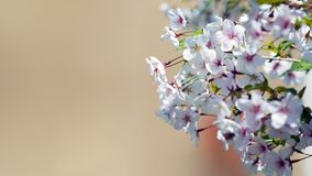 Sakura de floraison sur un fond monophonique photos stock