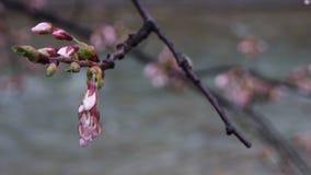 Sakura de florecimiento Fotos de archivo