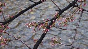 Sakura de florecimiento Imágenes de archivo libres de regalías