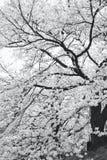 Sakura de florescência Imagens de Stock Royalty Free