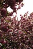 Sakura de florescência na mola Imagens de Stock Royalty Free