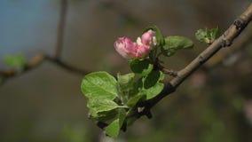 Sakura de florescência no jardim video estoque