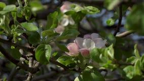 Sakura de florescência no jardim vídeos de arquivo