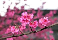 Sakura in de lente Royalty-vrije Stock Afbeeldingen