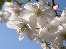 Sakura in de lente Stock Fotografie