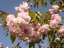 Sakura in de lente Royalty-vrije Stock Fotografie