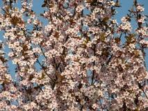 Sakura in de lente Royalty-vrije Stock Foto