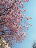 Sakura in de stad onder de huizen stock foto