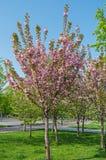 Sakura decorative Stock Images