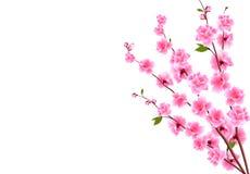 Sakura Dekoracyjni kwiaty wiśnia z pączkami na gałąź, bukiet Może używać dla kart, zaproszenia, sztandary ilustracji